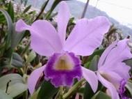 Cattleya Portia