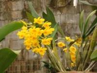 Dendrobium chrysostoxum