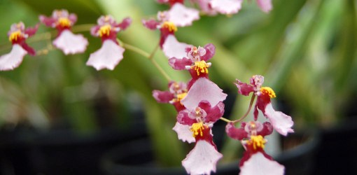 Oncidium Sharry Babe