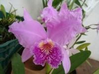 Cattleya luedmaniana