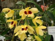 Dendrobium Gatton Sunray