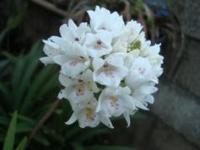 Neobentamia gracilis